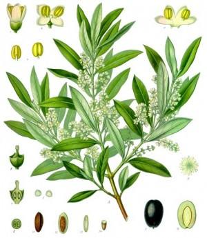 Olea europaea - de olijfboom met de vruchten waaraan olijfolie wordt onttrokken