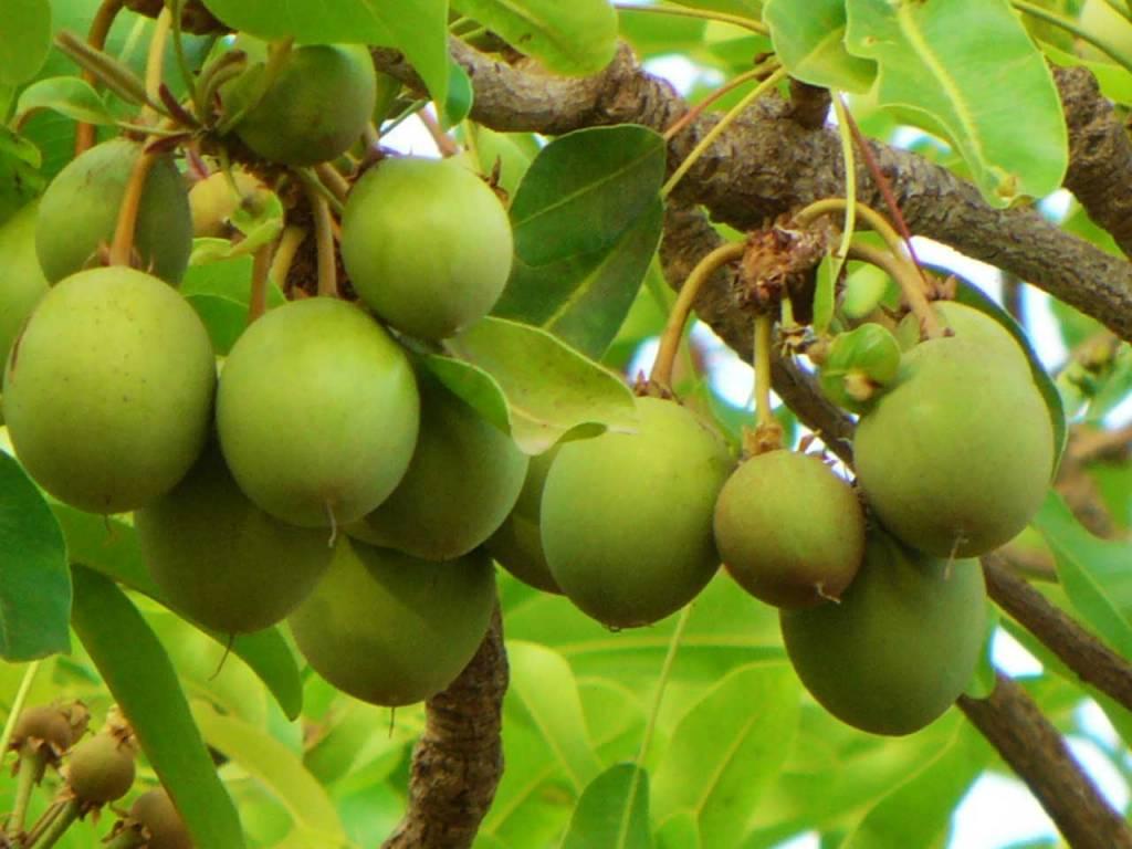 Alles over Kariteboter - De vruchten van de Karitéboom zijn de grondstof voor karitéboter