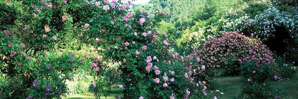 oude-rozen-varieteiten-in-de-roseraie-de-berty