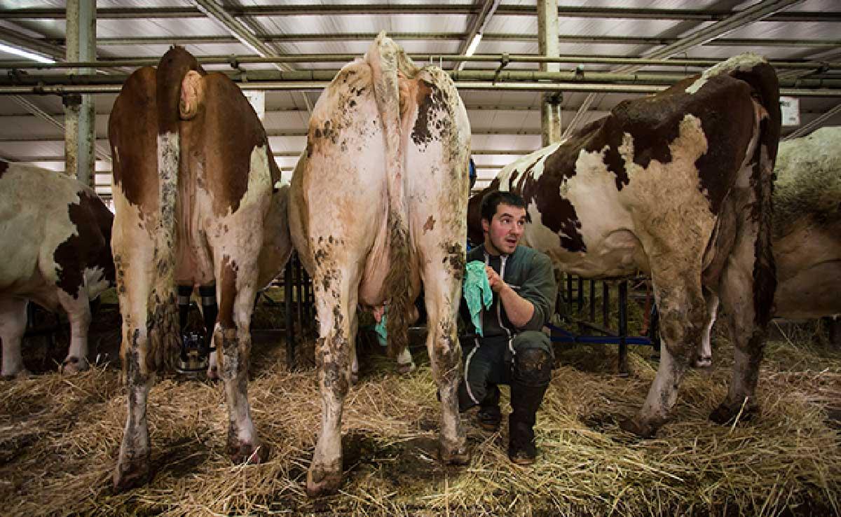 Zwarte zeep voor reinigen tepels voor het melken in de biologische veehouderij