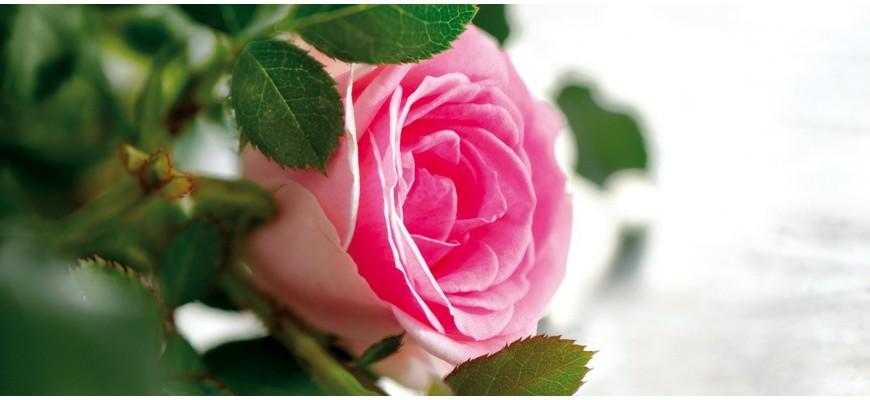 Roos, Rosa damascena Provencaalse roos die veel wordt gebruikt voor etherische olie (parfums)